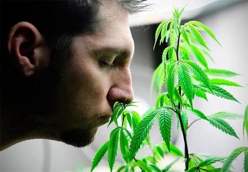 Как сказывается курение марихуаны на половой функции мужчины?